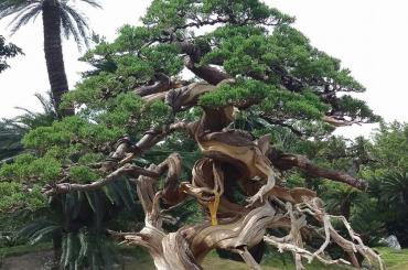 Những cây duyên tùng Đài Loan trồng trên giá thể Akadama tốt nhất Nhật Bản