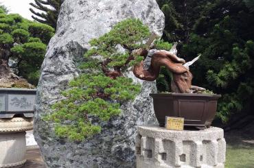 Những cây duyên tùng Đài Loan trồng trên giá thể Akadama tốt nhất Nhật Bản (tt)