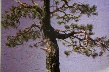 Làm cây theo phong cách tự nhiên (Phần 2)