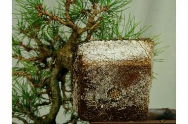Kinh nghiệm trồng thông đen Nhật Bản - Tác dụng của nấm đối với cây thông