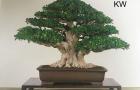 Nhận xét về xu thế phát triển của Bonsai vùng nhiệt đới thời hiện đại