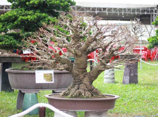 cây sếu Bonsai