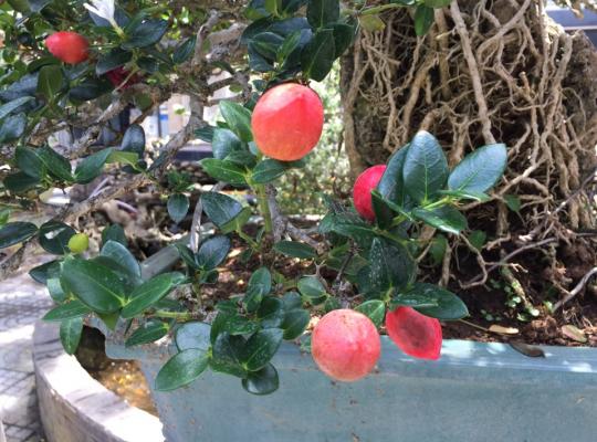 Siro Đài Loan giống mới