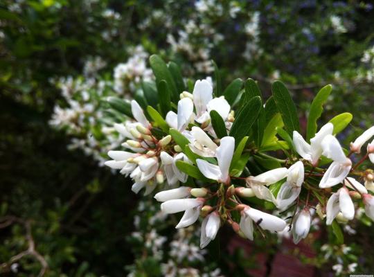 Linh sam bông trắng 2 màu hoa