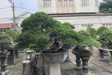 Thăm vườn Bonsai đẳng cấp của Đại Gia Tư Bình Sài Gòn